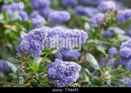 Ceanothus 'Puget Blue' flowers. - Stock Image
