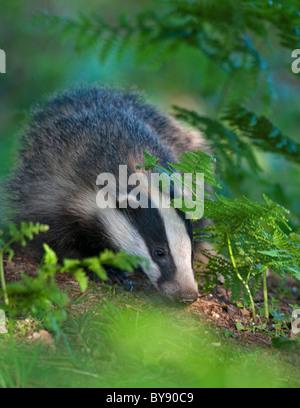 Badger Cub in Bracken - Stock Image
