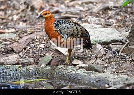 A female Ferruginous Partridge (Caloperdix oculea) standing by a pool in lowland forest in Western Thailand - Stock Image