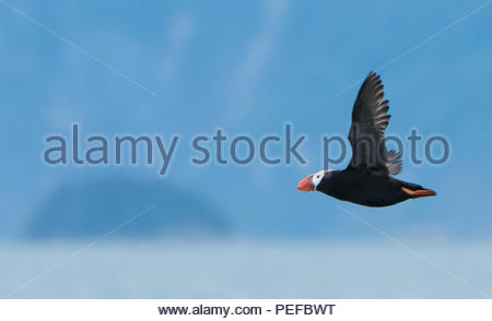 A tufted puffin at South Marble Island, Glacier Bay National Park. - Stock Image