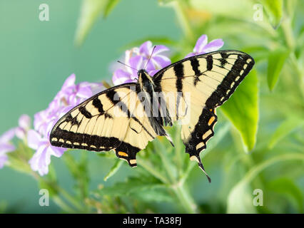 Tattered Canadian Tiger Swallowtail butterfly (papilio canadensis) - top view - Stock Image