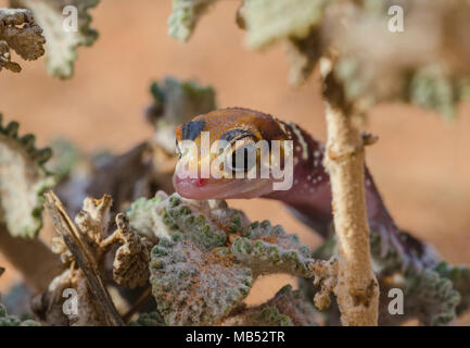 Barking or thick tailed gecko Underwoodisaurus milii - Stock Image