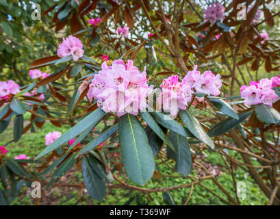 Pink rhododendron fulvum; a large shrub bush flowering in spring at the RHS Gardens in Wisley, Surrey, south-east England, UK - Stock Image