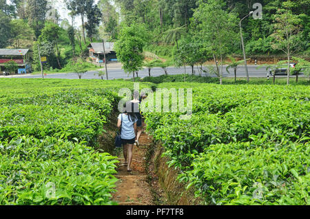 Group of people walk in the middle of tea plantation - Stock Image