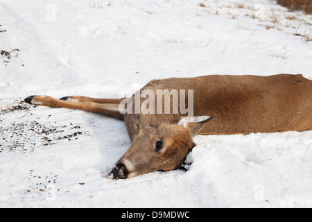 Dead deer killed by a vehicle on the side of Highway 61 in Northern Minnesota. - Stock Image