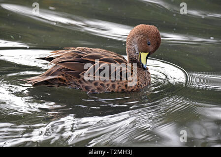 A South Georgia Pintail (Anas g georgica), a subspecies of the Yellow-billed Pintail, preening itself on a lake in South West England - Stock Image