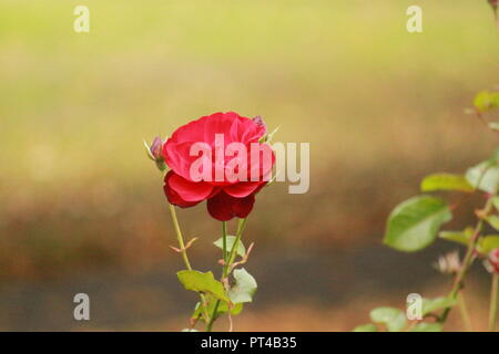 Single red rose in a garden on a sunny autumnal day - Stock Image
