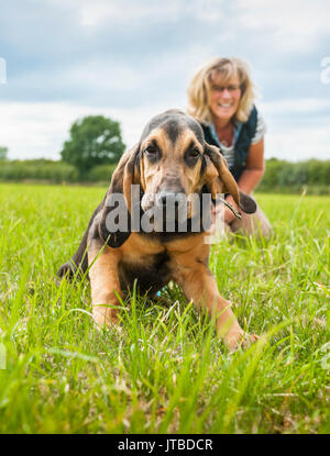 A dog owner with a young - 16 week old - bloodhound puppy out for a walk on one of his first days lead training, showing the puppy getting excited and pulling on his lead - Stock Image