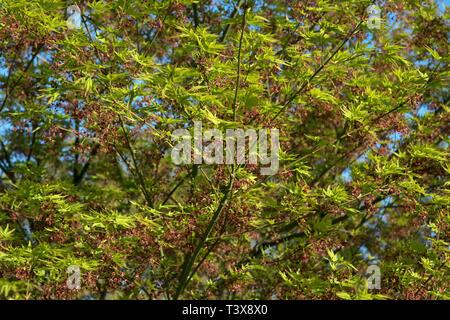 Fresh spring growth of Acer palmatum - Stock Image