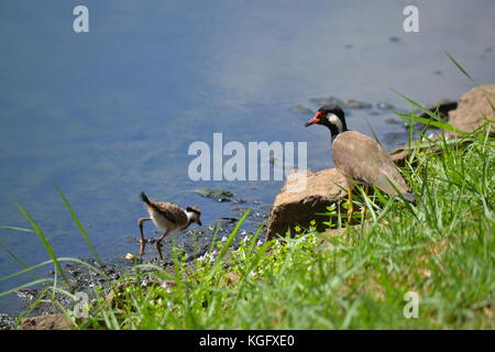Red-wattled lapwing keeps a watchful eye on her chick while chick is feeding. Colombo, Sri Lanka. - Stock Image