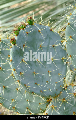 Close-up of spine covered stem segments with five immature prickly pears (Opuntia robusta) - Stock Image