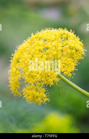 Ferula communis flowers. - Stock Image