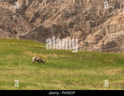Profile of bighorn Sheep Grazing below badlands rock formations - Stock Image