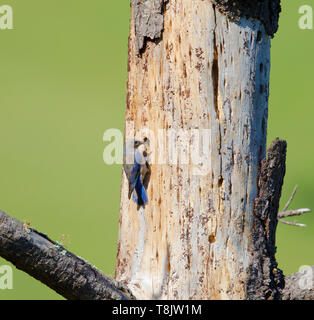 Western Bluebird at Hole in a Dead Tree - Stock Image