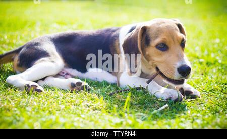 beagle puppy dog biting a wood stick - Stock Image