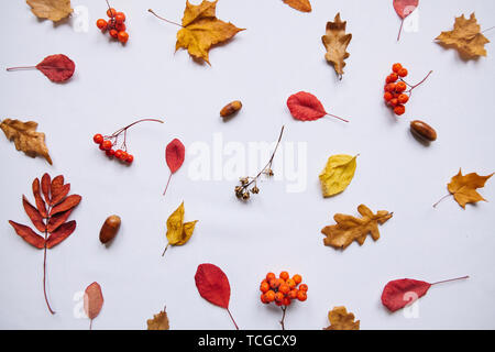 Autumn leaves, rowan and acorns on a white background. Abstract composition. - Stock Image
