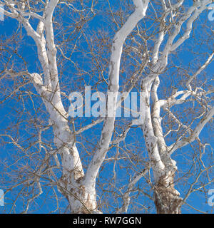 American Sycamore Tree against Blue Sky - Stock Image