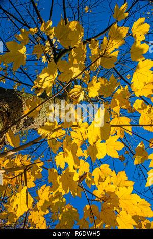 Sycamore Maple - Stock Image