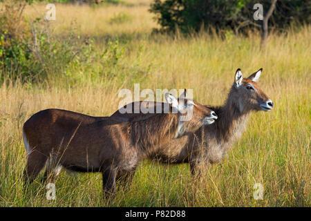 Waterbuck, Ugandan Kobus Defassa, Queen Elizabeth National Park, Uganda, East Africa - Stock Image