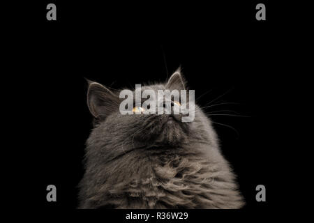 Portrait of Gray Cat Stare up on Isolated Black Background - Stock Image