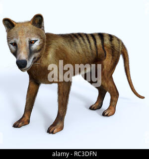 Thylacine Marsupial - The Thylacine marsupial was an extinct predator from the Holocene Period of Australia, Tasmania, and New Guinea. - Stock Image