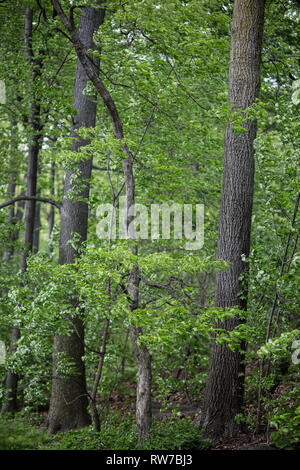Oak Trees and Green Leaves - Stock Image