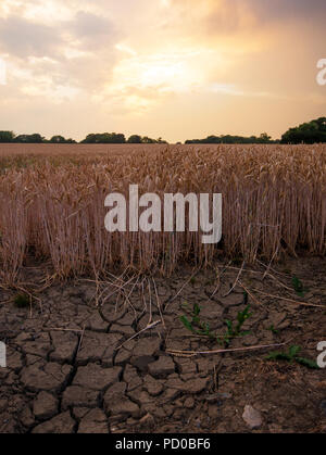 Cracked and dry wheat field at sunset - Stock Image