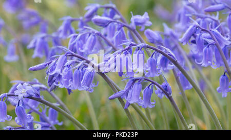 Bluebells (Hyacinthoides non-scripta) in British meadow - Stock Image