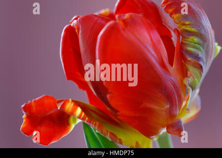 opening red parrot tulip still life - radiant new life Jane Ann Butler Photography  JABP1798 - Stock Image