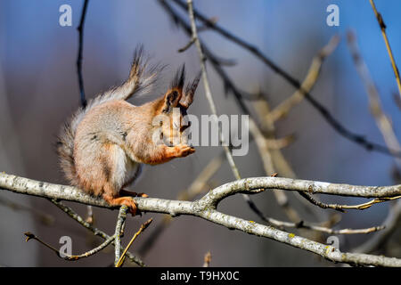 Red Squirrel, sometimes it's time to have a shut eye - Stock Image