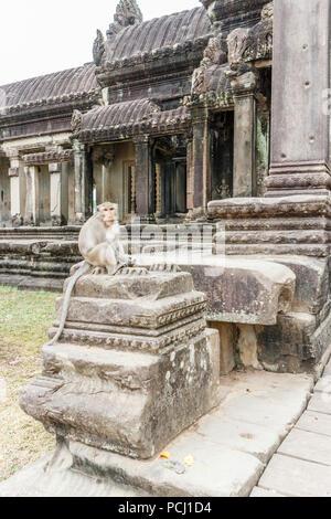 Long tailed macaque monkey with mango fruit, Angkor Wat, Cambodia - Stock Image