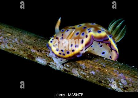 Chromodoris kuniei - Stock Image
