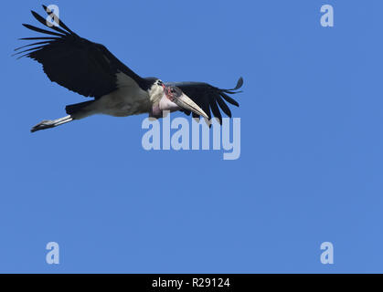 Marabou stork (Leptoptilos crumenifer) in flight above the Kazinga Channel between Lake George and Lake Edward. Queen Elizabeth National Park, Uganda. - Stock Image