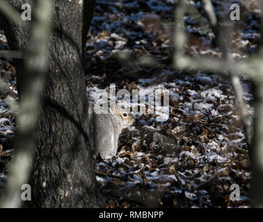 Gray squirrel among trees in winter with a light covering of snow - Stock Image