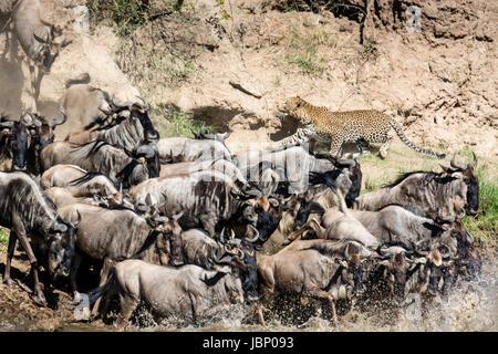African leopard, Panthera pardus, stalking Wildebeest herd, Connochaetes taurinus, crossing in great migration, - Stock Image