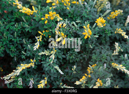 Cytisus racemosus close up of flower - Stock Image