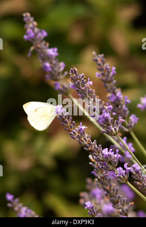 Cabbage white butterfly on lavender plant - Stock Image