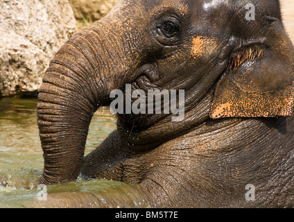 An Indian elephant cooling down - Stock Image