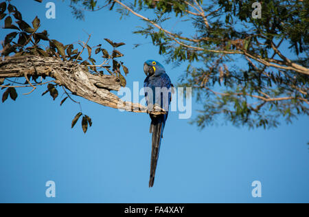 Adult Hyacinth Macaw, Anodorhynchus hyacinthinus, perched on a branch, Pantanal, Mato Grosso, Brazil, South America - Stock Image