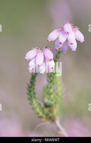 Cross-leaved Heath,  Erica tetralix, flower spike, Iping and Stedham Commons, Midhurst, Sussex. August. - Stock Image