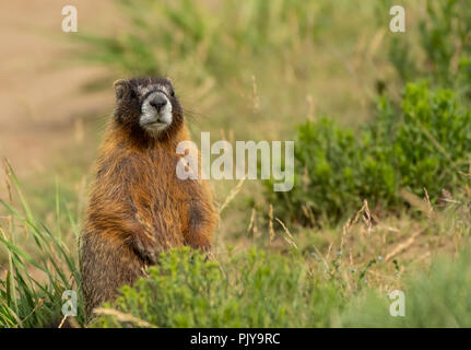 Chubby Marmot Sits Up and Looks Around in Green Field - Stock Image