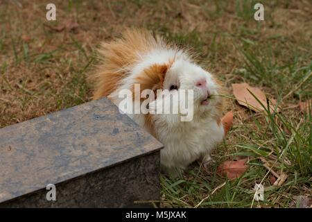 Brown and white Abyssinian guinea pig, cavy, eating grass on a dry lawn. - Stock Image