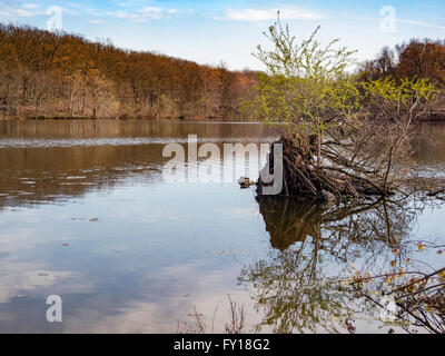 Pleasantville, NY 18 April 2016 - A pair of painted turtles (Chrysemys picta) sun themselves on a rock in Swan Lake. - Stock Image