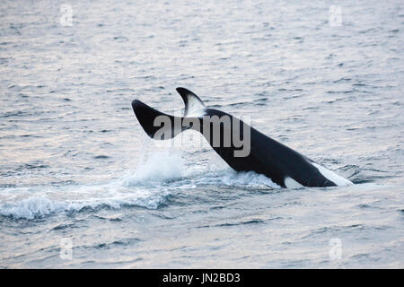 Orca, or Killer Whale (Orcinus orca) tail slapping next to the whale watching boat - Stock Image