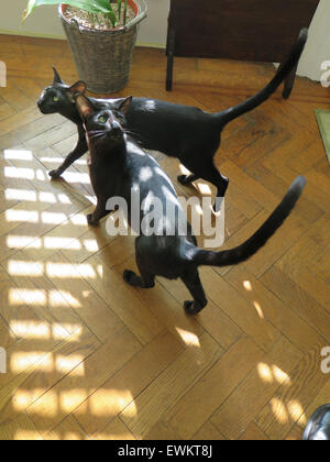 Black Oriental Siamese Kittens - one year old - on a sunny day on a parquet floor. - Stock Image
