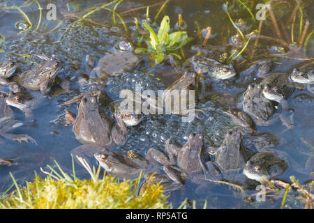 Common Frog, Rana temporaria, many males waiting on frog spawn in breeding pond for females to arrive for spawning, February, garden pond - Stock Image