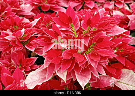 A stock photograph of Pick Me Pink poinsettias plants. - Stock Image