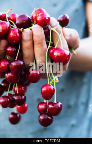 closeup of a young caucasian man outdoors with a handful of ripe cherries in his hands, freshly collected on an organic orchard - Stock Image
