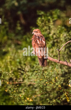 Indian Spotted Eagle, (Clanga hastata), perched on tree, Keoladeo Ghana National Park, Bharatpur, Rajasthan, India - Stock Image