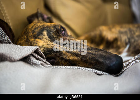 A greyhound with tiger fur relaxing on a sofa. Close up to it's head, - Stock Image